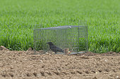 Wire mesh cage to capture crows and other corvids such as magpies (Pica pica), in an area of large cereal crops, with a bird prisoner in the interior that serves as a caller, it attracts others, Senlis region, Department of Oise, France