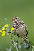 Corn Bunting (Emberiza calandra), also called European Proyer, male placed on a rapeseed plant, to call a female, arable land, Senlis region, Department of Oise, France