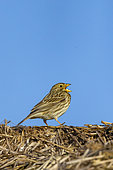 Corn Bunting (Emberiza calandra), also called European Proyer, male posed on a bale of straw, to call a female, arable land, Senlis region, Department of Oise, France