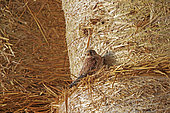 Kestrel (Falco tinnunculus), male posed on a bale of straw in a barn, land of great cultivation, Senlis region, Department of Oise, France