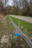 Installation of fences, during the breeding season, to prevent amphibians from crossing the road and being run over. The animals fall into buckets and are picked up by volunteers who put them across the road where the waterhole is where they will breed, Natural sensitive area of Grossmatt, Bas Rhin, France.