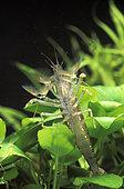 Radar shrimp (Atyopsis moluccensis) in aquarium