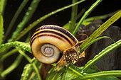 Colombian ramshorn apple snail (Marisa cornuarietis)