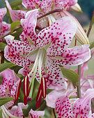 Lilium speciosum Uchida