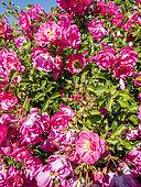Rosa 'Neon' Obtenteur : Kordes (GER) 2001