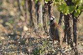 Red Partridge (Alectoris rufa) in a vineyard, Autignac, Hérault, France
