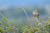 Corn Bunting (Emberiza calandra) singing on a bramble branch, Magalas , Hérault, France