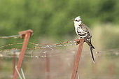 Great Spotted Cuckoo (Clamator glandarius) on a vineyard stake, Magalas, Hérault, France