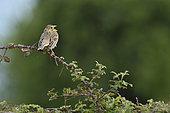 Corn Bunting (Emberiza calandra) singing on a bramble branch, Fouzilhon, Hérault, France