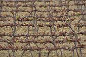 Frost episode from 7 to 8 April 2021 on a vineyard, some green leaves still remain, Saint Geniès de Fontedit, Hérault, France