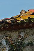 Little Owl (Athene noctua) dozing in the sun on the roof of a farmhouse, Magalas, Hérault, France