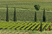 Vineyards lined with cypress trees in spring, Magalas, Hérault, France