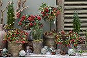 Christmas ambiance shrubs