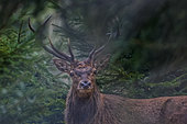 Red deer (Cervus elaphus) stag, Ardennes, Belgium