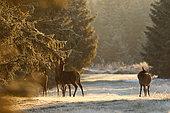 Red deer (Cervus elaphus) hinds, Ardennes, Belgium