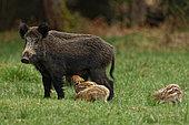 Wild boar (Sus scrofa) female suckling piglets, Ardennes, Belgium