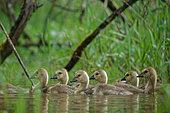 Canada Goose (Branta canadensis) goslings on the water, Ardennes, Belgium