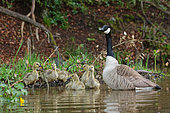 Canada Goose (Branta canadensis) adults with goslings on the water, Ardennes, Belgium