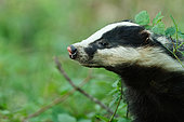 European badger (Meles meles) in forest, Ardennes, Belgium