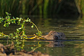 European Beaver (Castro fiber) dragging a branch in the water to feed, Ardennes, Belgium
