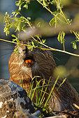 European Beaver (Castro fiber) eating a branch, Ardennes, Belgium