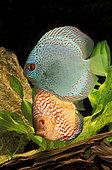 Discus (Symphysodon aequifasciatus)