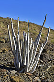 Cardoncillo (Ceropegia dichotoma), Tenerife. Endemic species of the Canary Islands.