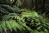 Fern (Woodwardia radicans) in the laurel forest of the Anaga Massif, Biosphere Reserve. Tenerife, Canary Islands.