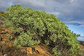 Balsam spurge (Euphorbia balsamifera), Tenerife. Canary Islands.
