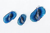 By-the-wind sailor, Sea sail or purple sail (Velella velella), is a small pelagic hydrozoan that appears en masse in some periods of the year. It has a sail that catches the wind and propulsion on the surface of the ocean. Tenerife, Canary Islands.