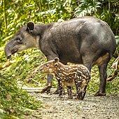 Tapir (Tapirus bairdii) mother with child roaming the woods, Rio Celeste Tenorio National Park, Central America, Costa Rica, Central America