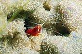 Fire shrimp, Blood shrimp or Scarlet cleaner shrimp (Lysmata debelius), Redang Island, Malaysia, Southeast Asia, Asia