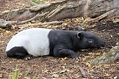 Malayan tapir (Tapirus indicus), adult dormant, captive, South Australia, Australia, Oceania