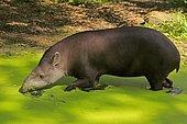 Lowland tapir (Tapirus terrestris), adult, foraging, in water, captive