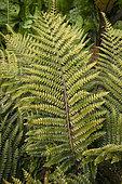 Japanese lace fern (Polystichum polyblepharum) leaves, France