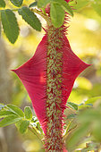 Winged Rose (Rosa sericea ssp. pteracantha), thorn, France