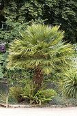 Dwarf fan palm (Chamaerops humilis) in a garden, France