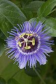 Passionflower (Passiflora caerulea) 'Purple Haze' flower, France