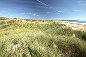 Marram grass (Ammophila arenaria), Vauville dunes, Manche, France