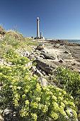 Sea fennel (Crithmum maritimum), Gatteville lighthouse, Manche, France