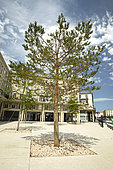 Scots pine (Pinus sylvestris) planted in a street in a city, Le Havre, France