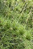 New shoots of Chusquea bamboo (Chusquea valdiviensis)