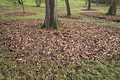 Mulching with dead leaves in circles under trees in autumn, France