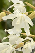 Orchid (Coelogyne cristata var. ochroleuca) flowers