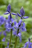 Massart's bluebell (Hyacinthoides x massartiana) (Hyacinthoides hispanica x Hyacinthoides non scripta) flowers, France