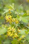 Golden currant (Ribes aureum) flowers, France