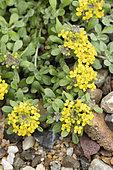 Alpine madwort (Alyssum alpestre) flowers, France