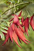 Parrot's beak (Clianthus puniceus) flowers, France