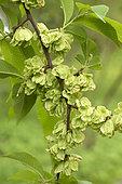 Chenmou Elm (Ulmus chenmoui) fruits, France