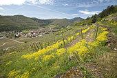 Woad (Isatis tinctoria) in the vineyard at Kaysersberg, Haut-Rhin, Alsace, France